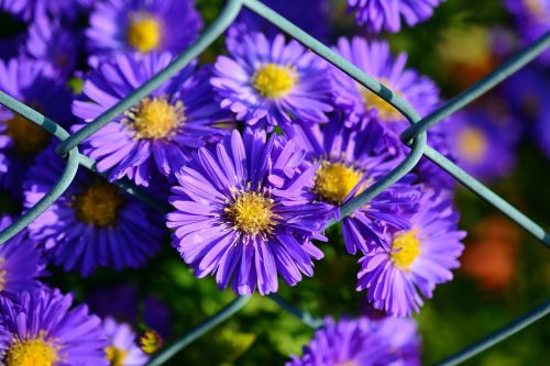 herbstastern autumn flowers garden