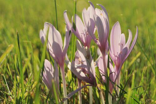 herbstzeitlose blossom bloom