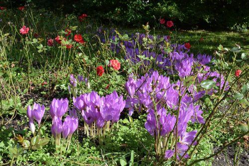 herbstzeitlose flowers purple