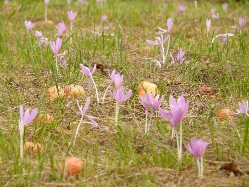 herbstzeitlose flower blossom