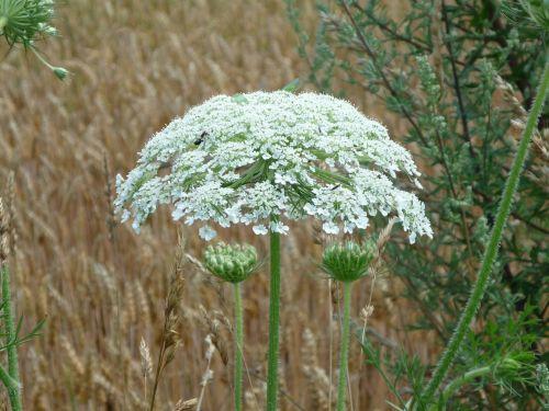 hercules herb giant hogweed hogweed