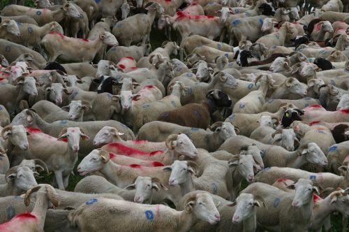 herd sheep sheep-herding