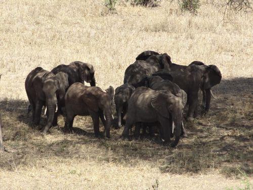 herd elephants animals