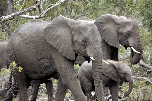 herd of elephants elephant africa