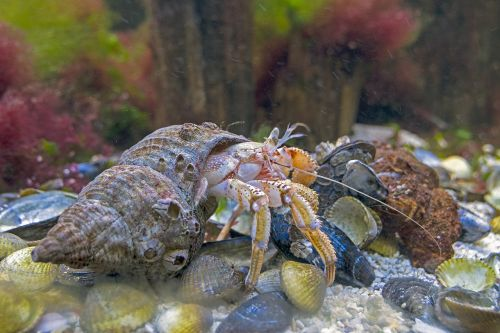 hermit crab north sea wildlife