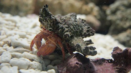 hermit crab aquarium sea