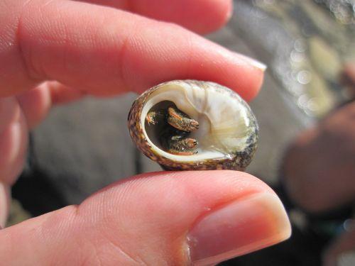 hermit crab clam fingers
