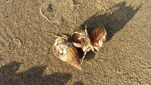 hermit crab sand beach