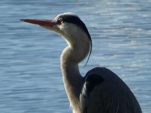 heron nature ornithology