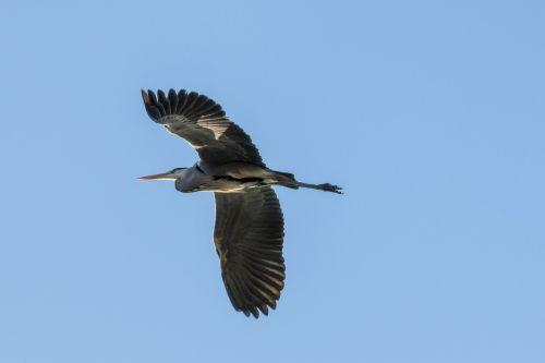 heron heron in flight bird