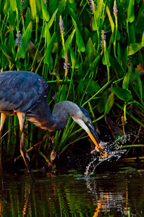 heron wading bird bird