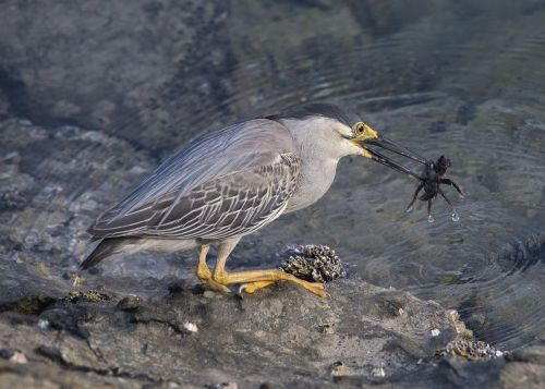 heron crab bird