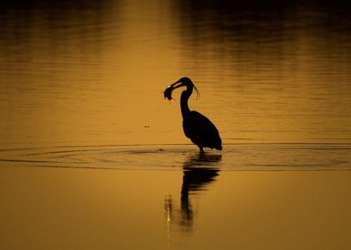 heron bird beak