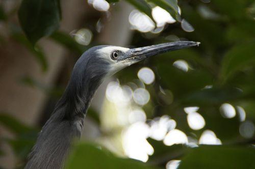 heron,grey,plumage,bird,eastern,animal world,wildlife photography,fish eater,feather,water bird,head,bill,bent,attention,critical,skeptical