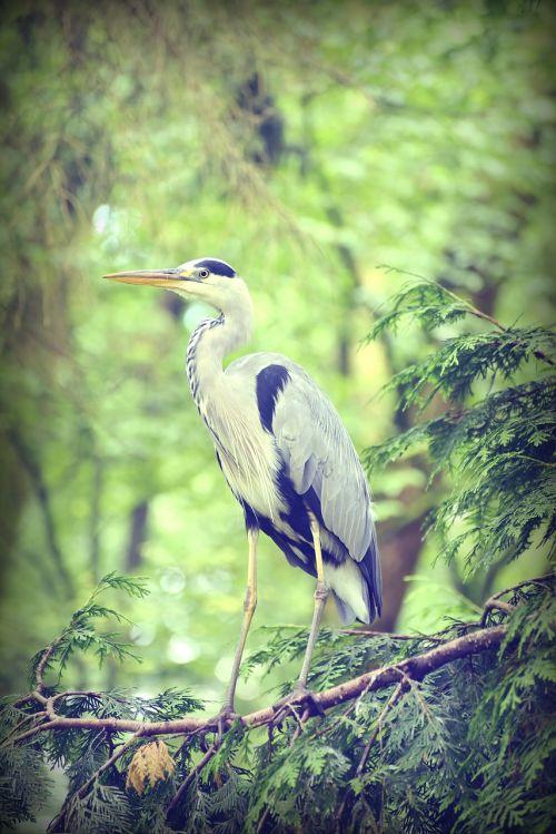 heronas,vandens paukštis,paukštis,gamta,plumėjimas,plunksna,vanduo,žuvies ėdalas,pilka giraitė,gyvūnas,elegantiškas,padaras,laukinės gamtos fotografija,sąskaitą,gyvūnų pasaulis