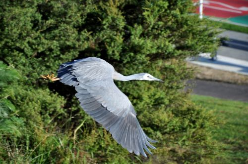 heron white faced inflight