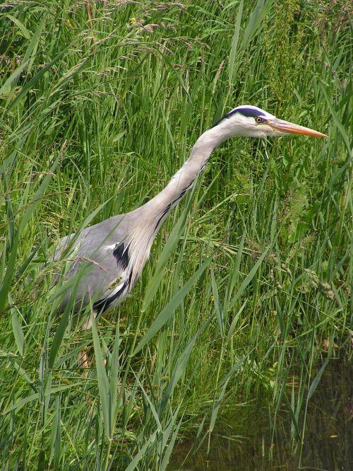 heron silver heron blue heron