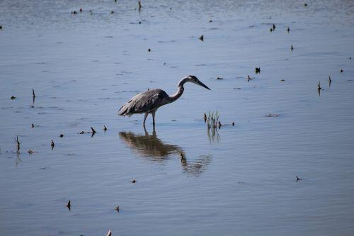 heron ornithology pond