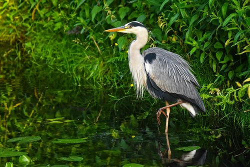 heron  waterbird  bird