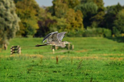 heron  bird  predator