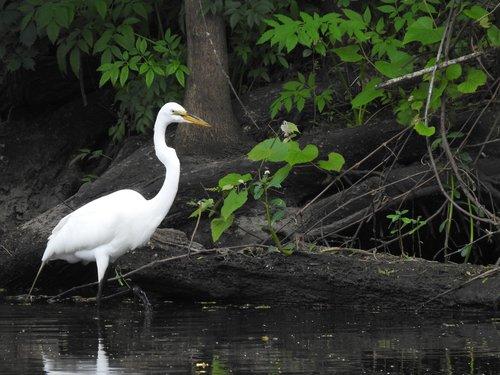 heron  swamp  louisiana