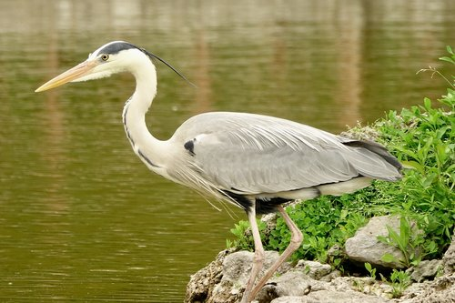 heron  bird  nature
