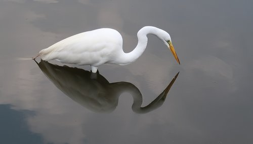 heron  egret  reflection