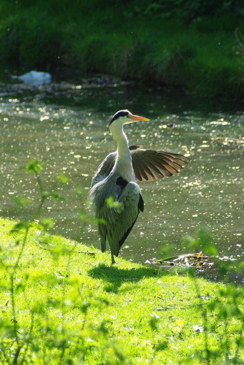 heron preening thamesmead