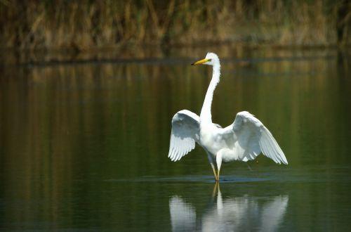 heron white egretta alba