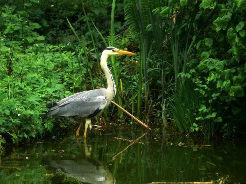heron bird eastern