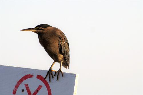 heron variable water bird beak