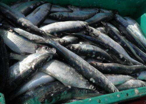herring fish food
