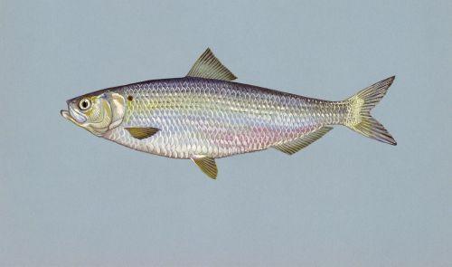 herring fish blueback