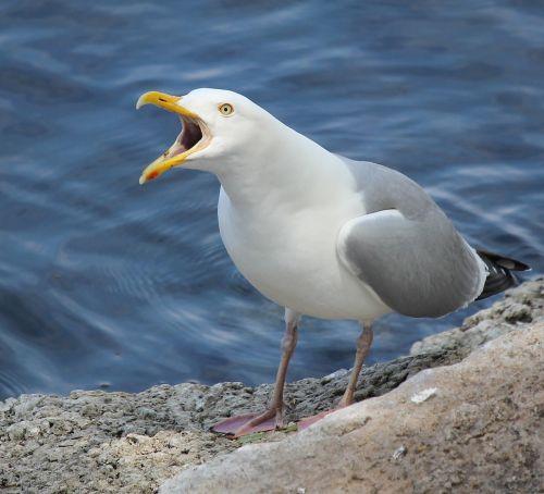 herring gull fox