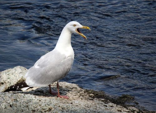 herring gull wildlife