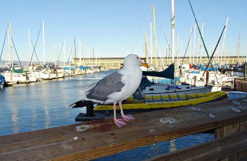 herring gull american larus smithsonianus