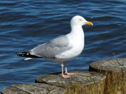 herring gull larus argentatus seagull