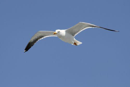 herring gull larus argentatus seevogel