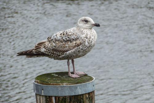 herring gull jungmöwe larus argentatus