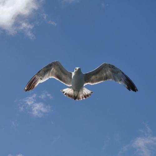 herring gull bird sea birds