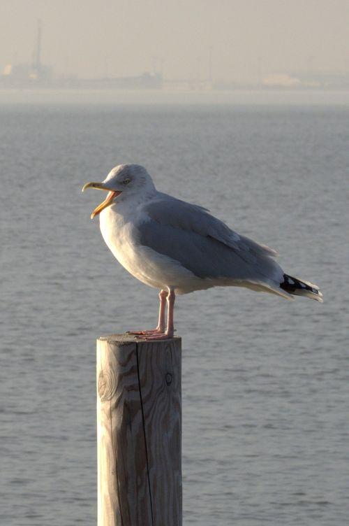 herring gull seagull larus