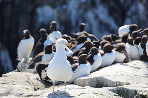 herring gull gull guillemots