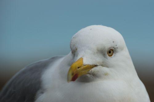 herring gull larus argentatus portrait