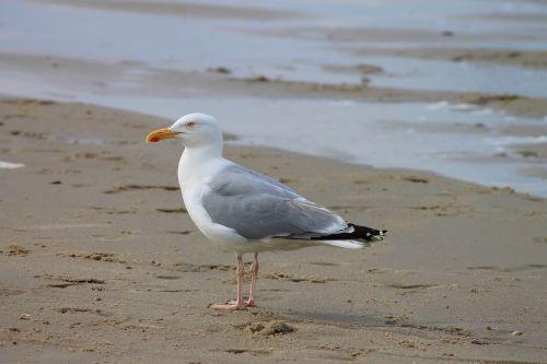 herring gull seagull seevogel