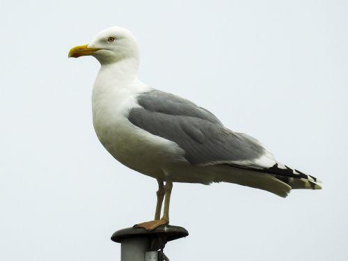 herring gull seagull nature