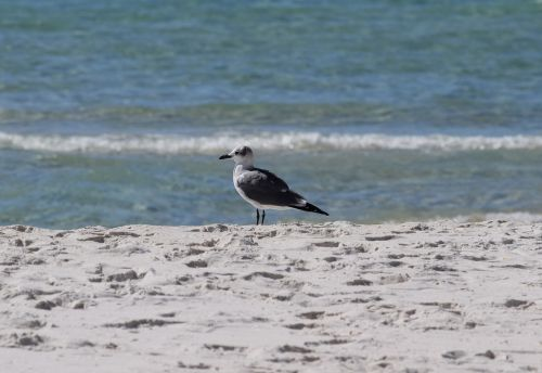 herring gull gull shore bird
