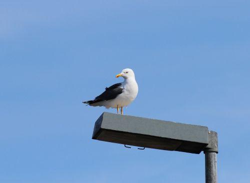herring gull larus argentatus gulls