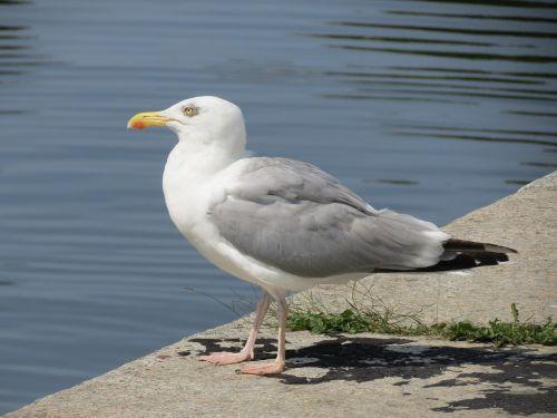 herring gull stralsund port