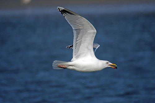 herring gull  seagull  north sea
