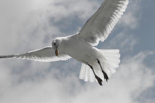 herring gull  seagull  larus argentatus